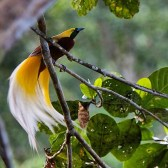 lasser-bird-of-paradise.https://trek-papua.com/raja-ampat-holiday/honeymoon-package-raja-ampat/raja-ampat-tourism/raja-ampat/arfak-montane-birding-specialties/papua-birding-itinerary/
