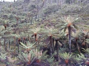 Fetern plant-papua