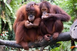 orang-utan-1, Kalimantan, Indonesia borneo, cultural tour