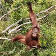 Orangutan tours and Dayak adventures trip Duration : 5 Days - 4 Nights Highlight : Orangutan feeding time, traditional dayak daily live. Start and Finish : Pangkalan Bun. Orangutan Tour Description orangutan tours and dayak tour Enjoy searching wildlife surrounding the forest. some group of proboscis monkey, long tail macaque are quite easy to find a long the river bank. when the lucky with you, False Gavial crocodile sometime come up on the water survey for dry out specially at the black water river up to camp leakey. You have opportunity to take small hike in the forest before enjoy watching orangutan feeding time at both camp : Pondok Tanggui camp and Camp Leakey. The activities will combine with experience dayak peoples daily live and tradition. Our dayak destination is not completely remote area, your trip up to lamandau river will give you experience about the real dayak live such as, stay at traditional long house, you may be involved on traditional dance, and daily activities. Itinerary DAY 01 : PANGKALAN BUN - PARK Upon arrival at Pangkalan Bun Airport meeting service and you will be board on the boat. In the peaceful afternoon we will slowly explore the quite river by the klotok while observe the monkeys along the riverside. Dinner and overnight on the boat.(L D) DAY 02 : BOAT - PONDOK TANGGUI - CAMP LEAKEY After breakfast board the klotok to travel up river for about 2 hours boating and then up a side creek to Camp Leakey where the older orangutans are reintroduced into the rain forest. En route stop at Pondok Tanguy, the rehabilitation center for the new ex-captive orangutans, see feeding time at 09.00am. Then proceed to Camp Leakey. After lunch on the boat you will have opportunity to take small trek before see feeding time at 14.00 pm for old rehabilitation orangutan given additional foods. Overnight on the boat. (B,L,D). DAY 03 : PARK - KUMAI - PANGKALAN BUN - BAKONSU DAYAK VILLAGE Morneing breakfast, boating down to Kumai then transfer straight to the speed boat harbor. You will be boarding your speed boat on the Arut River before change to the Lamandau River . On the way you will pass some villages along the Lamandau River , logging company, and rapids. You will stop for lunch on the way. Upon arrival at Bakonsu Village after 5 - 6 hours drive, our guide will take you to the long house for your accommodation. Sightseeing around the villages and arrange the welcome dancing ceremony. After dinner they will ringing their gong or one of their music instrument to gathering together for this Horn Bill Dancing Party. Lots of people will join and you will be welcome like a King & Queen. Overnight at Long house. (B, L, D) Please covered your valuable things with dry bags and put suntan lotion for sun protection. We recommend also bring soft ear plugs as the sounds of speed boat is so noisy. DAY 04 : BAKONSU DAYAK VILLAGE - PANGKALAN BUN After breakfast, sightseeing around the village. If you are interested to collect some Dayak Artifacts such as the mask, mat, and carvings this is one of the place that available for this kind of stuffs. After packing your luggage, drive down back to Pangkalan Bun by speed boat. On the way stop at Kotawaringin Palace and sightseeing surrounding. Lunch on the way.Upon arrival at Pangkalan Bun, drive by car back to your hotel. Free program at your own leisure. Overnight at Hotel at Pangkalan Bun. (B, L, D). DAY 05 : PANGKALAN BUN - END After breakfast transfer by car to Pangkalan Bun airport for your next destination. TOURS END (B) Cost Including : 1. Return transfer from & to Pangkalan bun airport 2. Boat Transport : A wooden river boat about 12m by 2m / klotok 3. English speaking guide and own chef 4. Meals as indicated ( meals on the boat serve fresh and good variety indonesia food ) 5. Admission fee and park entrance permit 6. Accommodation overnight on the boat ,Pangkalan Bun hotel and Dayak Long house 7. Ranger donation and airport porter 8. Mineral water, Tea, coffee, snack are coming along on the boat and trekking 9. Speed boat for dayak Village 10. Dayak wecome dance 11. Smile :-) Cost Excluded : 1. Alcoholic beverage, Laundry, Souvenirs 2. Self Insurance 3. Airfares 4. Camera and handycam camera fee 5. Force mojour How to confirm : 1. You should inform us your final confirmation departure by email 2. We will provide and send the official final confirmation and invoice description 3. Pay deposit to guaranty the reservation as following : *** 25% for landcost packages *** 100% for flight arrangement *** The balance of payment could make during arrival at Pangkalan Bun ( with some condition ) *** we really appreciated for full payment in advance at least 2 week before departure date Payment Additional 4% surcharge when Payment made by credit card online via paypal Additional 3% Surcharge when Payment made on arrival by off line credit Card No additional charge for cash payment in IDR For more information, Please feel free to contact us.