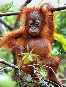 orangutan2, almost human, Kalimantan, stone age, cultural tour, & ethnic journey