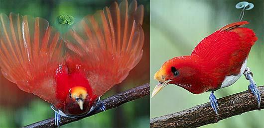 Red bird of paradise animal