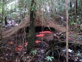 bow birds, Extension: Arfak foothill forest birds