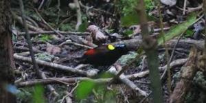papua-birds