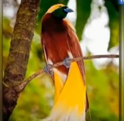 cenderawasih-kuning.-Bird of Paradise is a bird from Papua. Birds of paradise, especially the males, have beautiful feathers like an angel come down from heaven. Hence birds of paradise known as bird of paradise or bird of paradise.  It can be found in Papua, birds of paradise can also be found in our neighboring countries, namely Papua New Guinea and Australia. Well, here are a few species of birds of paradise famous for her beauty:   1. Small Yellow Bird of Paradise (Lesser bird of paradise)  This is a type of bird of paradise birds serukuran being with a length of about 32 cm. Plumage color combination of red-brown with a yellow crown and upper back brownish yellow.  Jannya birds have dark green throat, and a pair of long tail feathers adorned thick yellow and white. While the female birds have a smaller body size than males, dark brown head, white body and has no ornamental feathers.  Regional spread of this type of bird of paradise is covering the whole forest in the northern part of Papua New Guinea and nearby islands such as Misool Island and Yapen.   2. Astrapia Ribbon Tailed   Bird of Paradise species has a very long tail feathers that exceeds the length of the body. Even the long tail can be up to 3 times the length of its body. The length of around 32 cm in males, with white ribbon-shaped tail length up to 1 m. As for females, has a rather short tail with a brown color. Birds of paradise this type can be found in the tropical rain forest in the central part of the island of Papua.  3. Blue Bird of Paradise (Blue Bird of Paradise)  This bird has a length of about 30 cm, black-bodied, dark brown eyes and gray legs. Male birds wing feathers decorated predominantly purple-blue color. This bird is a typical bird of Papua New Guinea. Endemic area is in the forests of Papua New Guinea and South-East section. Generally they live at altitude 1400 - 1800 m above sea level.  Blue-paradise has a unique dance ritual during the breeding season. To attract the birds the male partner will be dancing memamerkan beautiful feathers while noises resembling singing.   4. Paradise Riflebird   The distinctive feature of this bird is a male bird has black feathers with blue-green crown, black legs, brown eyes, and a yellow beak. Birds of paradise this type can be found in the forests of New South Wales and Queendslans in Australia.  The beauty of this bird seen when male birds spread their wings and move kekana resembles a fan and left like a dance to attract the female.   5. Red Bird of Paradise (Red Bird of Paradise)   The length of the bird is about 33 cm. This bird has yellow fur and brown and has a yellow beak. Adult male birds have red feathers with the tip of white blood. At the tail there are two circular pieces of black feathers. Meanwhile, the female bird smaller than the male, and does not have feathers decoration.  Red birds of paradise can only be found in the lowland forests on the island of Waigeo and Batanta, Raja Ampat, Papua.   6. Flag of Paradise (King Saxony bird of paradise)   This bird is a small bird chirping with a length of about 22 cm. Adult males have black fur and amber, in the head there are two strands of wire scaly feathers light blue glossy with long-reach 40 cm. Long hair can stand upright when looking at the female bird. While the female birds have a smaller body size and does not have an antenna.  Regional spread of bird of paradise banner include forests in the mountains of Papua.