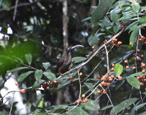 """Nimbokrang – A Must For Birders In West Papua-Jan 24th/2017 As I posted in my """"Preparing to West-New Guinea-West Papua"""" web: www.trek-papua.com/, there are several gateways to enter West Papua. You will need to fly into the airport of Jayapura to access Nimbokrang. In this post, I will discuss the logisitics of visiting Nimbokrang and the gateway of Sentani/Jayapura. The birding report will be on a separate post. GETTING THERE: Jayapura (DJJ) is served by Garuda Airlines (Jakarta, Makassar, Biak); Sriwijaya (Jakarta, Makassar, Manokwari); Merpati (Jakarta, Makassar, Manokwari, Manado); and Lion Air/Wings (Jakarta, Makassar). Of these airlines, Garuda is the only one you are likely to be able to book online with a non-Indonesian credit card and the only one you can reach with frequent flyer miles once they join SkyTeam. Also see my post on Sriwijaya Airlines to learn how to book with a local Indonesian travel agency. TREK-PAPUA TOUR & TRAVEL., LTD www.trek-papua.com/www.papuatravels.com/ Sentani Airport street of Jayapura-Papua) (Mobile) +62-8124-762-8708(G.m)trekpapua@gmail.com. Skype: mac.wasage Once you reach the Jayapura airport (which is actually in the town of Sentani), you will still need to get to the village of Nimbokrang. Pak Jamil, the birding guide extraordinaire can send a driver to pick you up at the airport. Although this costs 500,000 rupiahs, I recommend using his driver to get there as you will also need a Surat Jalan (travel permit) and the driver will bring you to the police station, wait while it is issued, then take you to Jamil's house in Nimbokrang. To return to Senatani, Jamil can call a regular bemo to pick you up at his house which is around $5 per person. The bemo will drop you off at your hotel in Sentani which you will probably need as most flights leave early in the morning."""