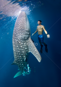 stand with shark., Nabire Dive With The Whale Shark Taman Nasional Teluk Cendrawasih Situated on the north coast of Papua in the center of the great Cendrawasih Bay, Nabire is surrounded by mountains and dense forest. Most visitors to Nabire use the town as a base to visit Teluk Cendrawasih National Park, which is full of interesting attractions such as hot springs, sea cruises, exploring the underwater coral reefs and the island of Rumberpon. Those who enjoy spending time outdoors will find plenty of trekking trails in this area, and there are several traditional villages located just outside Nabire that make for interesting places to visit. Mountain climbers can also hire a guide to help them traverse the steep sides of the town's rocky outcrops. Although it is possible to spend the night in Nabire, accommodation tends to be on the basic side. However, those who want to learn about the way of life in Nabire might find home stay accommodation an interesting option. Price Basic: Rp1.2500.000 / orang Installments: • Down Payment : Rp 5.000.000 Price Include: 9 Meals 5 dives, transportation, accommodation, hoping island Price Exclude: Flight ticket, snack , personal expense, guide tips drinks etc Dive Gear Activities: • Beach Exploring • City Walk • Diving • Island Hopping • Snorkeling Meeting Point: Nabire Airport Day One 14.00 Arrived in nabire airport pick up go to kwatisor island 15.00 – 19.00 Cek in rest free time sunset hunting 19.00 – 20.00 Dinner Day Two 07.00 – 08.00 Breakfast 09.00 – 15.00 3 Dives 15.00 – 19.00 Free time 19.00 – 20.00 Dinner Day Three 07.00 – 08.00 Breakfast 09.00 – 10.00 Dives 10.00 – 12.00 Refresh Chek Out Lunch 12.00 – 1400 Go to nabire 14.00. – 14.30 Ceck In in nabire 15.00 - 18.00 City Tour 19.00 – 20.00 Dinner 20.00 Rest Day Four 04.00 – Prepare to check out 04.30 – 05.30 airport transfer End Of trip