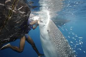 Nabire Dive With The Whale Shark Taman Nasional Teluk Cendrawasih Situated on the north coast of Papua in the center of the great Cendrawasih Bay, Nabire is surrounded by mountains and dense forest. Most visitors to Nabire use the town as a base to visit Teluk Cendrawasih National Park, which is full of interesting attractions such as hot springs, sea cruises, exploring the underwater coral reefs and the island of Rumberpon. Those who enjoy spending time outdoors will find plenty of trekking trails in this area, and there are several traditional villages located just outside Nabire that make for interesting places to visit. Mountain climbers can also hire a guide to help them traverse the steep sides of the town's rocky outcrops. Although it is possible to spend the night in Nabire, accommodation tends to be on the basic side. However, those who want to learn about the way of life in Nabire might find home stay accommodation an interesting option. Price Basic: Rp1.2500.000 / orang Installments: • Down Payment : Rp 5.000.000 Price Include: 9 Meals 5 dives, transportation, accommodation, hoping island Price Exclude: Flight ticket, snack , personal expense, guide tips drinks etc Dive Gear Activities: • Beach Exploring • City Walk • Diving • Island Hopping • Snorkeling Meeting Point: Nabire Airport Day One 14.00 Arrived in nabire airport pick up go to kwatisor island 15.00 – 19.00 Cek in rest free time sunset hunting 19.00 – 20.00 Dinner Day Two 07.00 – 08.00 Breakfast 09.00 – 15.00 3 Dives 15.00 – 19.00 Free time 19.00 – 20.00 Dinner Day Three 07.00 – 08.00 Breakfast 09.00 – 10.00 Dives 10.00 – 12.00 Refresh Chek Out Lunch 12.00 – 1400 Go to nabire 14.00. – 14.30 Ceck In in nabire 15.00 - 18.00 City Tour 19.00 – 20.00 Dinner 20.00 Rest Day Four 04.00 – Prepare to check out 04.30 – 05.30 airport transfer End Of trip