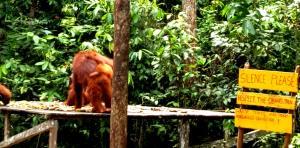orangutan trip, camp leaky, central kalimantan