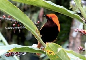 birding trip in Papua, Manokwari, Jayapura, Genyem, Baliem valley, Yali trip birding trip with Mac