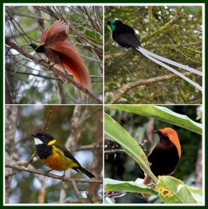 birding-trip in Dosai village, Jayapura barat