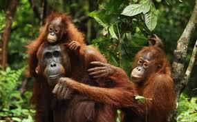 orang-utan trip, Indonesia Programs