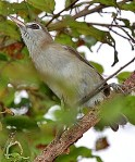 and the very different-looking Bare-eyedWhite-eye