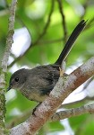 the rather subdued RennellFantail