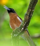 The superb Rennell Shrikebill is one of the more attractive and unusual-looking of the Solomon Islandsendemics