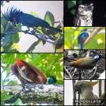 Bops (birding-Raja Ampat with BrotherMac)