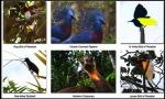Bops (birding-Nimbokrang with BrotherMac)