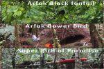 March-Arfak foothills birds photographyTrip-2020