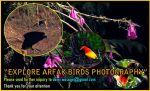 new guine birds photography-Arfak foothhills-2020