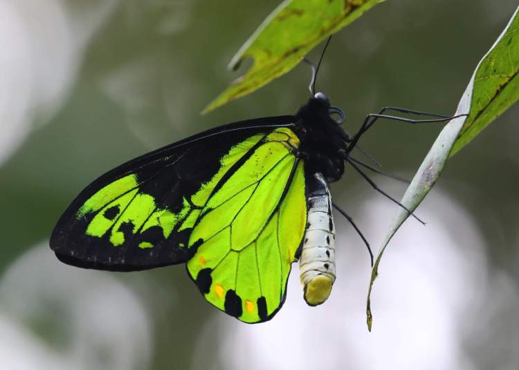 queen-victorias-birdwing-butterfly-e28093-photograped-at-mt.-austen-solomon-islands.